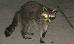 raccoon with one eye glowing
