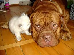 big dog listening to little cat.