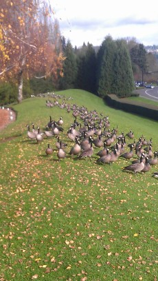 A flock of geese who joined me on my run the other day.